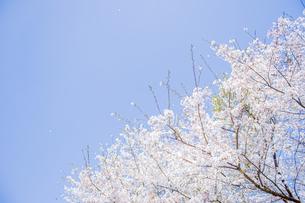 桜の写真素材 [FYI04298703]