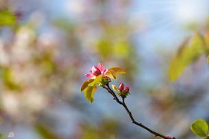 花梨の花の写真素材 [FYI04298715]