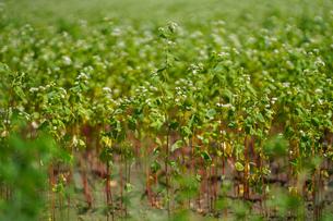 蕎麦の畑の写真素材 [FYI04298726]