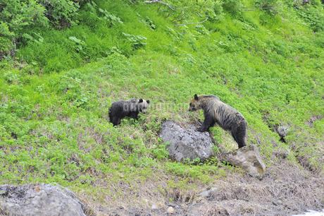 高山植物を食べるヒグマの親子(北海道・知床)の写真素材 [FYI04298737]