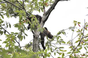 木に登って実を食べるヒグマ(北海道・知床)の写真素材 [FYI04298738]