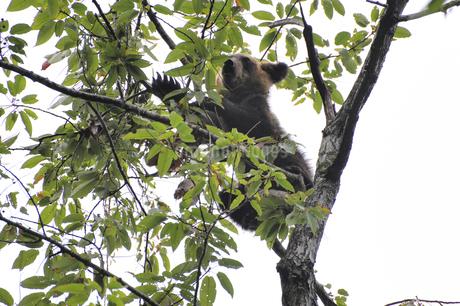 木に登って実を食べるヒグマの幼獣(北海道・知床)の写真素材 [FYI04298739]