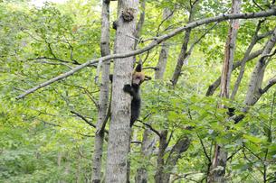 木登りするヒグマの幼獣(北海道・知床)の写真素材 [FYI04298740]