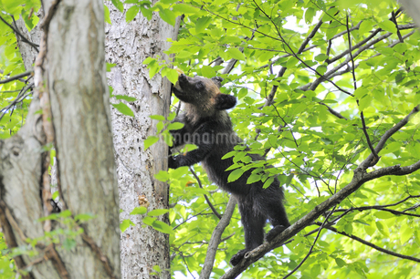 キノコを食べるヒグマの幼獣(北海道・知床)の写真素材 [FYI04298741]