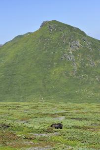 知床連山とヒグマ(北海道・知床)の写真素材 [FYI04298742]