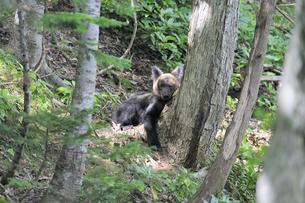 木にもたれて休むヒグマの幼獣(北海道・知床)の写真素材 [FYI04298744]