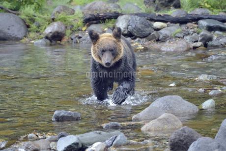 魚を追いかけるヒグマ(北海道・知床)の写真素材 [FYI04298745]