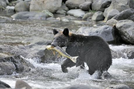 サケを捕らえたヒグマ(北海道・知床)の写真素材 [FYI04298746]