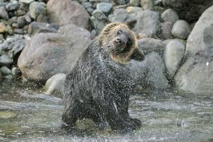 水切りをするヒグマ(北海道・知床)の写真素材 [FYI04298747]