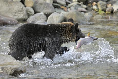 カラフトマスを捕らえたヒグマ(北海道・知床)の写真素材 [FYI04298748]