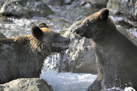 争うヒグマの兄弟(北海道・知床)の写真素材 [FYI04298749]