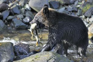 サケを捕らえたヒグマ(北海道・知床)の写真素材 [FYI04298750]