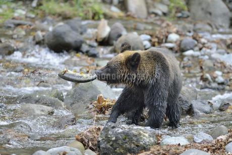 サケを捕らえたヒグマ(北海道・知床)の写真素材 [FYI04298757]