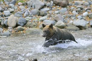魚を追いかけるヒグマ(北海道・知床)の写真素材 [FYI04298759]