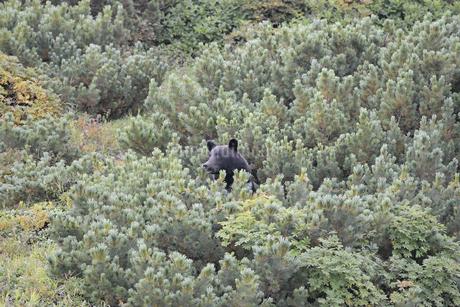 ハイマツの実を食べるヒグマ(北海道・知床)の写真素材 [FYI04298760]