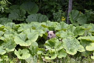 フキを食べるヒグマ(北海道・上川町)の写真素材 [FYI04298761]