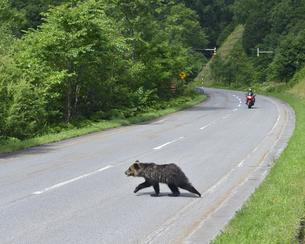 道路を横断するヒグマ(北海道・上川町)の写真素材 [FYI04298762]