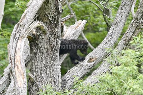 木に登るヒグマの幼獣(北海道・知床)の写真素材 [FYI04298764]