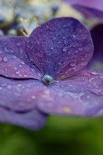紫陽花の写真素材 [FYI04298776]