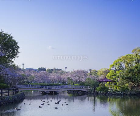 長崎県 桜 大村公園 (玖島城跡) の写真素材 [FYI04298891]