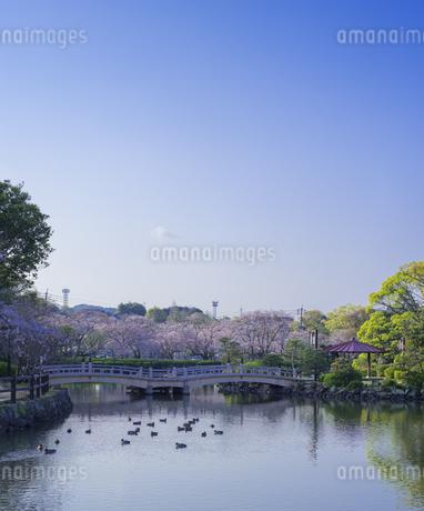 長崎県 桜 大村公園 (玖島城跡) の写真素材 [FYI04298892]