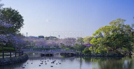 長崎県 桜 大村公園 パノラマ (玖島城跡) の写真素材 [FYI04298894]