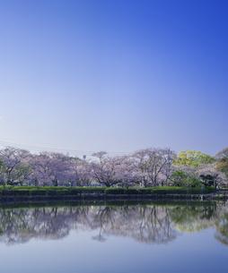 長崎県 桜 大村公園 (玖島城跡) の写真素材 [FYI04298896]