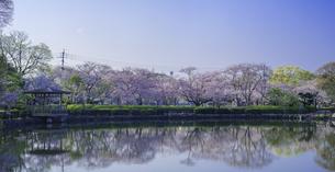 長崎県 桜 大村公園 パノラマ (玖島城跡) の写真素材 [FYI04298898]