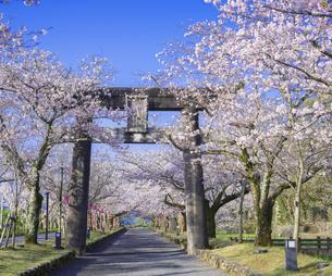 長崎県 桜 大村公園 (玖島城跡) の写真素材 [FYI04298899]