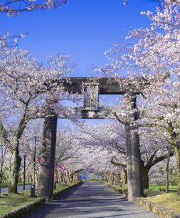 長崎県 桜 大村公園 (玖島城跡) の写真素材 [FYI04298901]