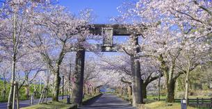 長崎県 桜 大村公園 パノラマ (玖島城跡) の写真素材 [FYI04298902]
