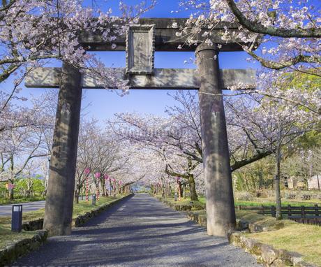 長崎県 桜 大村公園 (玖島城跡) の写真素材 [FYI04298903]