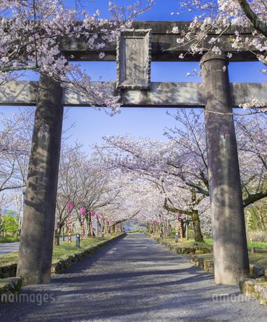 長崎県 桜 大村公園 (玖島城跡) の写真素材 [FYI04298905]