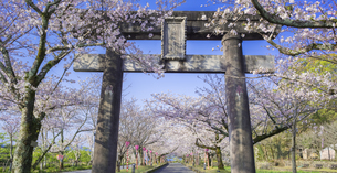 長崎県 桜 大村公園 パノラマ (玖島城跡) の写真素材 [FYI04298906]
