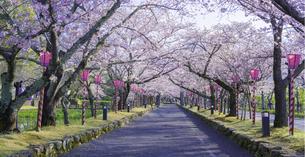 長崎県 桜 大村公園 (玖島城跡) の写真素材 [FYI04298910]