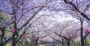 長崎県 桜 大村公園 パノラマ (玖島城跡) の写真素材 [FYI04298911]