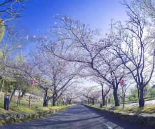 長崎県 桜 大村公園 (玖島城跡) の写真素材 [FYI04298913]