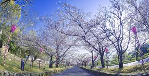 長崎県 桜 大村公園 パノラマ (玖島城跡) の写真素材 [FYI04298914]