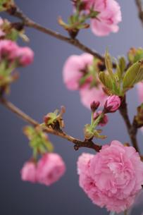 シックな雰囲気の八重桜の写真素材 [FYI04299308]