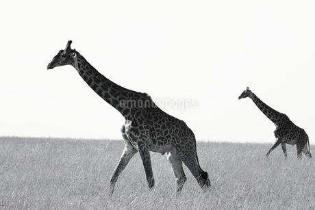 キリンの写真素材 [FYI04299368]