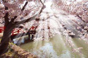 ひかりの美しい桜と赤い橋の写真素材 [FYI04299381]