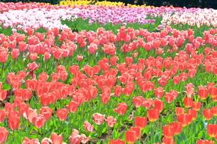 県立秦野戸川公園のチューリップの写真素材 [FYI04299405]