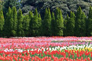 県立秦野戸川公園のチューリップの写真素材 [FYI04299409]