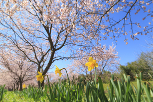 春の北浅羽桜堤公園の写真素材 [FYI04299703]