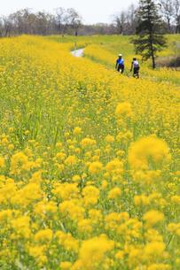 菜の花の群生の写真素材 [FYI04299709]