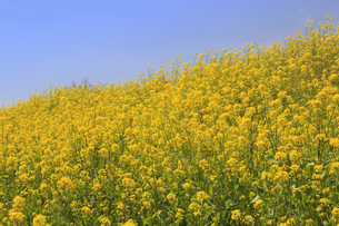 菜の花の群生と青空の写真素材 [FYI04299713]
