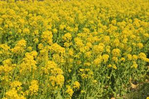 菜の花の群生の写真素材 [FYI04299715]