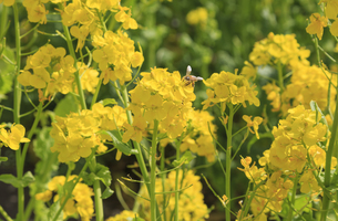 菜の花とミツバチの写真素材 [FYI04299716]