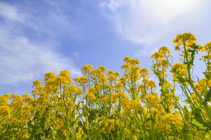 菜の花の群生と青空の写真素材 [FYI04299719]