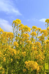 菜の花の群生と青空の写真素材 [FYI04299720]